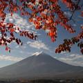 桜の紅葉と富士