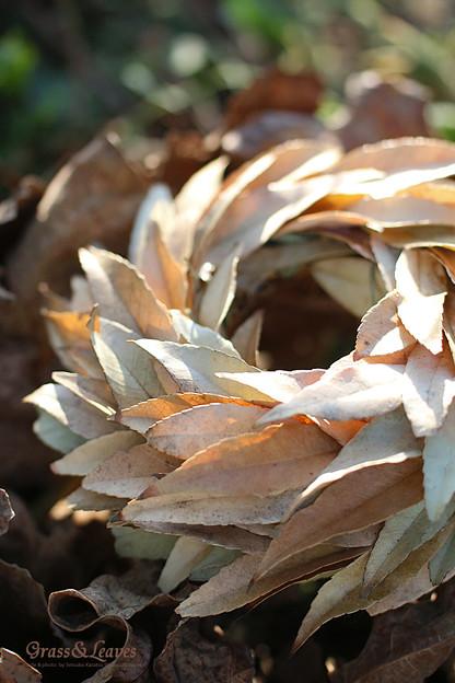 シラカシの枯葉のリース