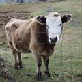 写真: ニュージーランドの牛さん