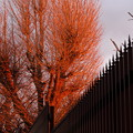 写真: 夕焼けに照らされる木