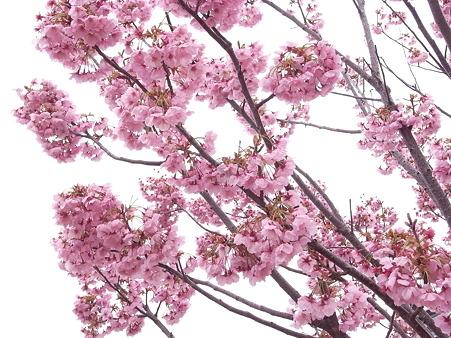 南千住 汐入公園の桜 2010-3-28 27