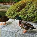 神社の中を歩く鴨たち