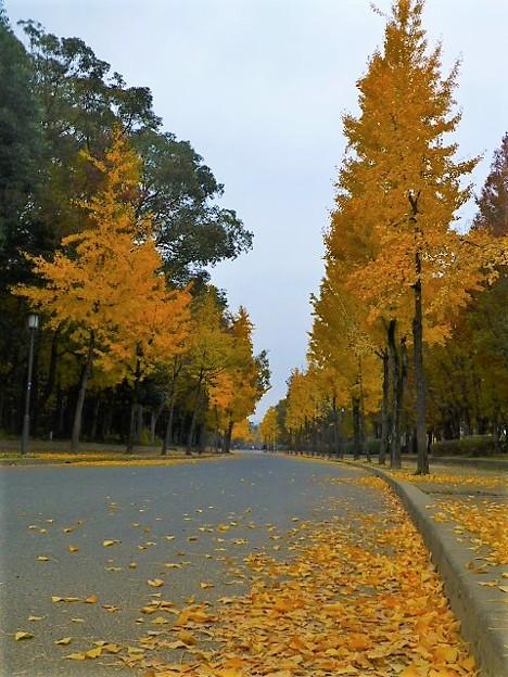 写真: 大阪城公園のイチョウ並木