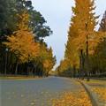 Photos: 大阪城公園のイチョウ並木