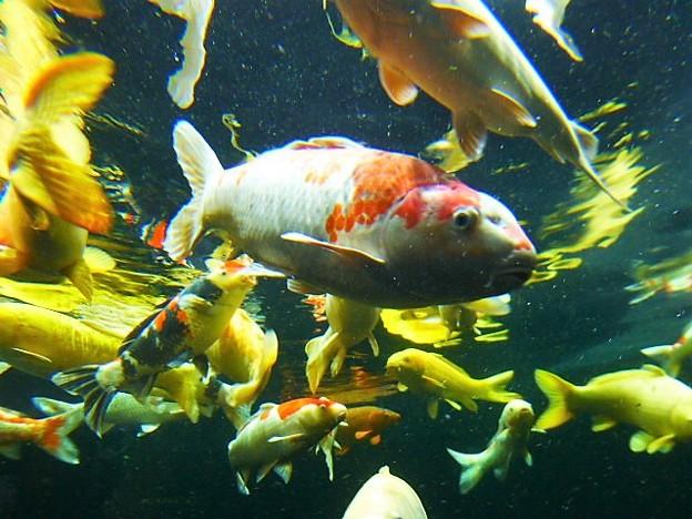 大型鯉の泳ぐ池 こいの入口