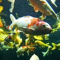 写真: 大型鯉の泳ぐ池 こいの入口