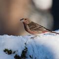 雪の上で、オオマシコ・幼鳥・・