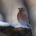 幼鳥・雪の上でオオマシコさん