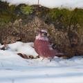 オオマシコ成鳥、雪の上で・・