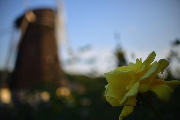 風車とバラ