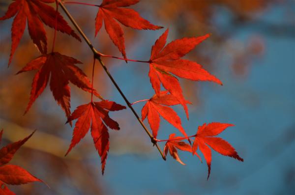 もみじの綺麗な紅葉を楽しみます