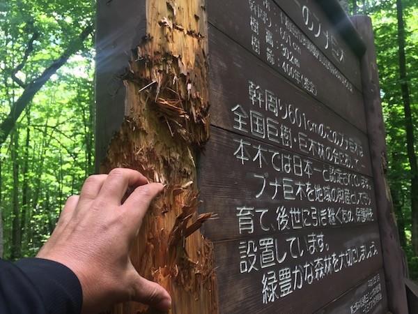 このブナの木の案内板の傷は熊がつけたもの