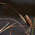 写真: カシラダカとかいう野鳥