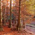 写真: 九大の森の紅葉♪