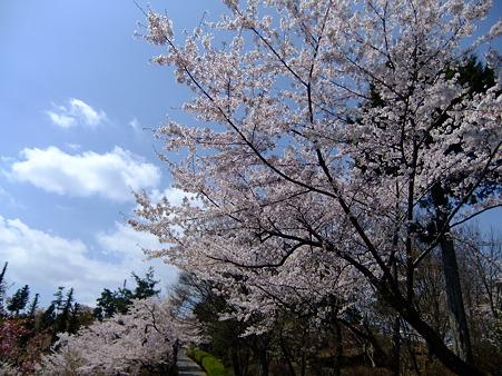 山頂付近の桜