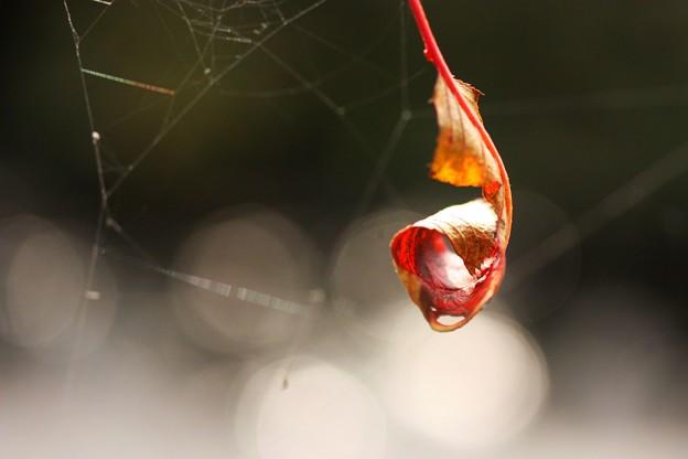 写真: 桜の落葉