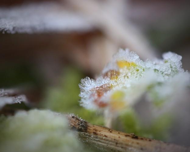 写真: 霜の花?
