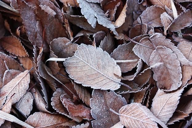 落葉の薄化粧