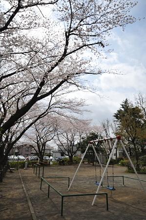 桜 2010 秋葉台公園 04