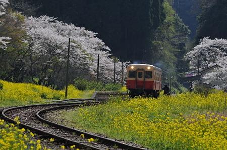 小湊鉄道の桜 2010 10
