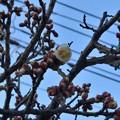 写真: 白梅も咲いてる