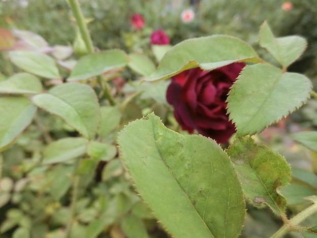 イングリッシュローズが咲きました^0^♪