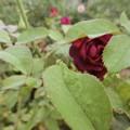 写真: イングリッシュローズが咲きました^0^♪