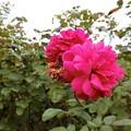 写真: いんぐりっしゅが咲きました^0^♪