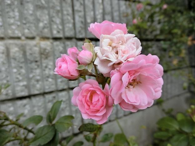 写真: ばらバラ薔薇^0^∥