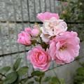 Photos: ばらバラ薔薇^0^∥