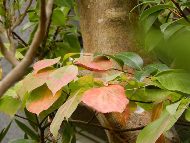 2017.9.19 花水木の紅葉