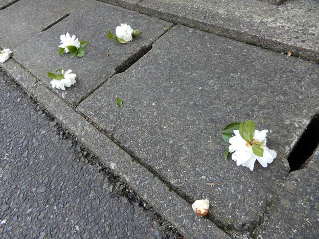 2018.1.20 山茶花の花切up