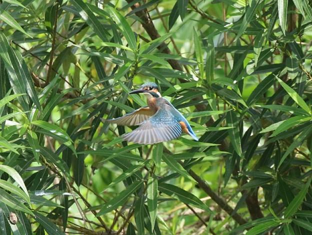 写真: カワセミ幼鳥のホバリング(1)