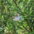 カワセミ幼鳥のホバリング(1)