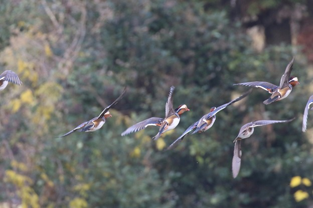 Photos: オシドリさんの飛翔