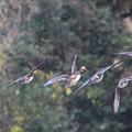写真: オシドリさんの飛翔