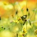 写真: キバナの中のモンキチョウ