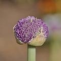 写真: 紫のつぼみ