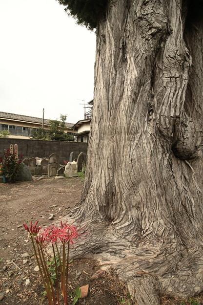 写真: 東町のカヤ 日立市