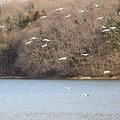 23.3.6加瀬沼の渡り鳥(その2)
