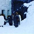 写真: Penguins