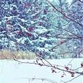 写真: 雪中紅