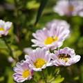 写真: 蜜蜂と小菊