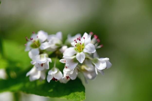 写真: 蕎麦の花