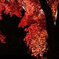 写真: 紅いモミジ