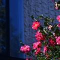 写真: 山茶花咲く家