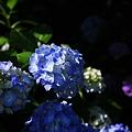 紫陽花 2010