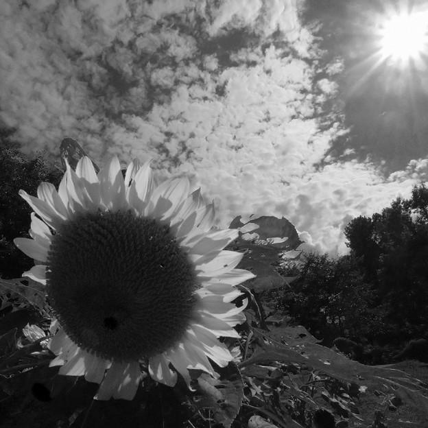 暑い! 太陽に背を向けた向日葵