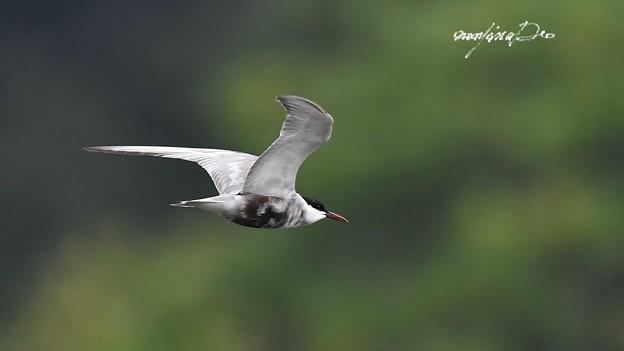クロハラアジサシ飛翔