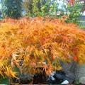 写真: 紅葉~モミジ